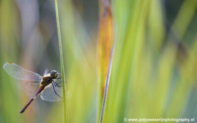 Bruinrode heidelibel, Woldlakebos, Nederland, 19-9-2020