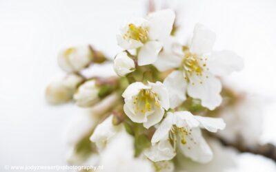 Kersenbloesem, De Meern, 8-4-2021