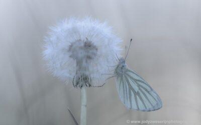 Klein geaderd witje, Bolgerijen, 1-5-2021
