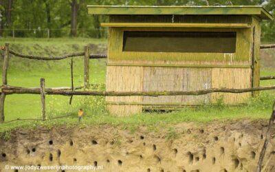 Bijeneters, Bence Mate hides, Hongarije, 31-5-2021