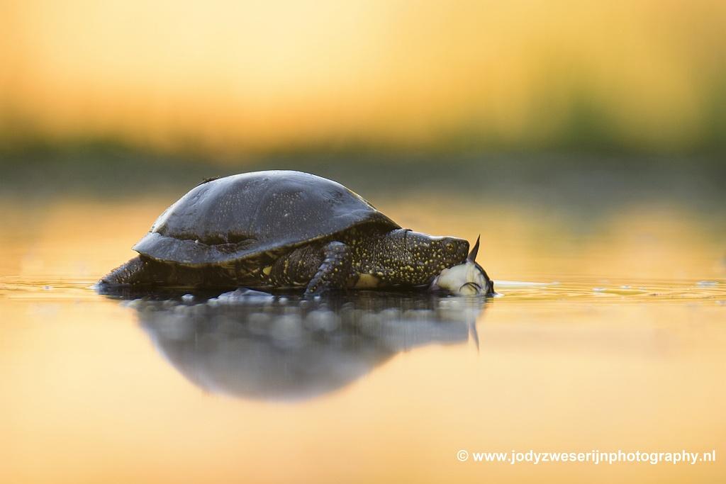 Moerasschildpad, Bence Mate hides Hongarije, 7-6-2021
