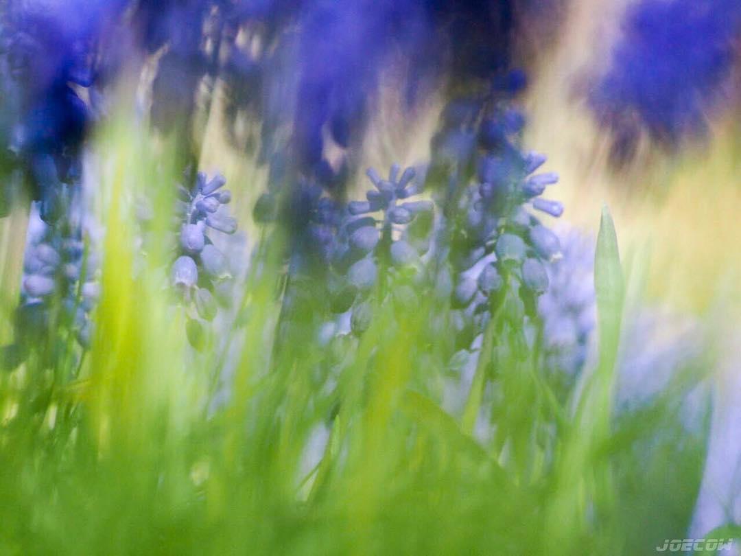 Hyacinths in Grass