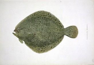 brill fish
