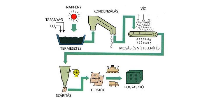 Spirulina alga készítésének folyamata