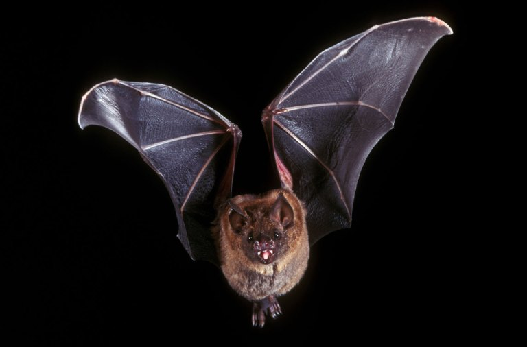 Images & Brands - Bat in flight - Meatloaf clue