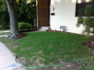 Our lawn after 1.5 weeks of growth, view 2