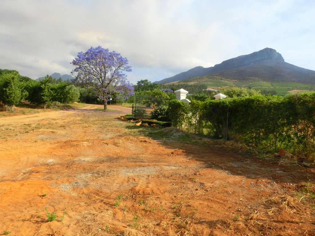 Jacaranda Baum