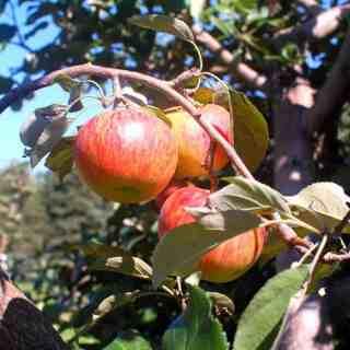 apple cluster | joeshealthymeals.com