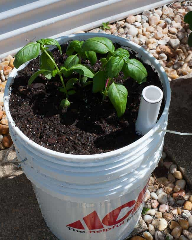 Fill with more soil and generously water to settle the potting soil.