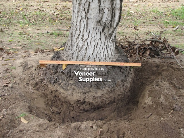 Walnut Tree Wood Uses