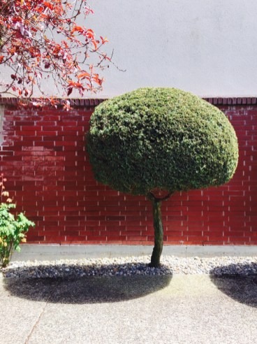 Trimmed round toprairy tree in front of a shiny red brick wall