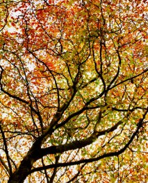 Silouetted maple tree with colorful fall foliage against an autumn sky