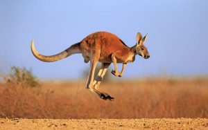 Kangaroo hopping snipped