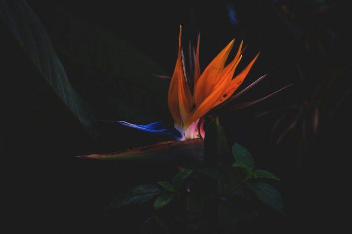 Craneflower Spanien