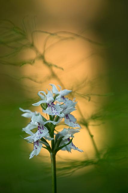 Orkidé i motljus
