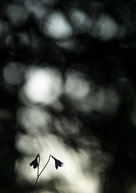 Linnea Borealis