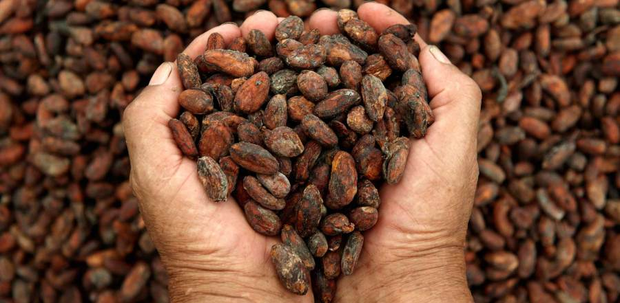Types of Cocoa beans and why do we use the best in our Chocolates.