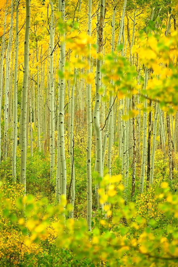 Fall colors, Sawatch Mountains, Independence Pass, Colorado.
