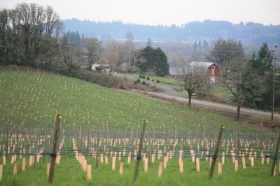 Plum Hill Winery - rows of grapes in the field of this country winery in Gaston, Oregon.