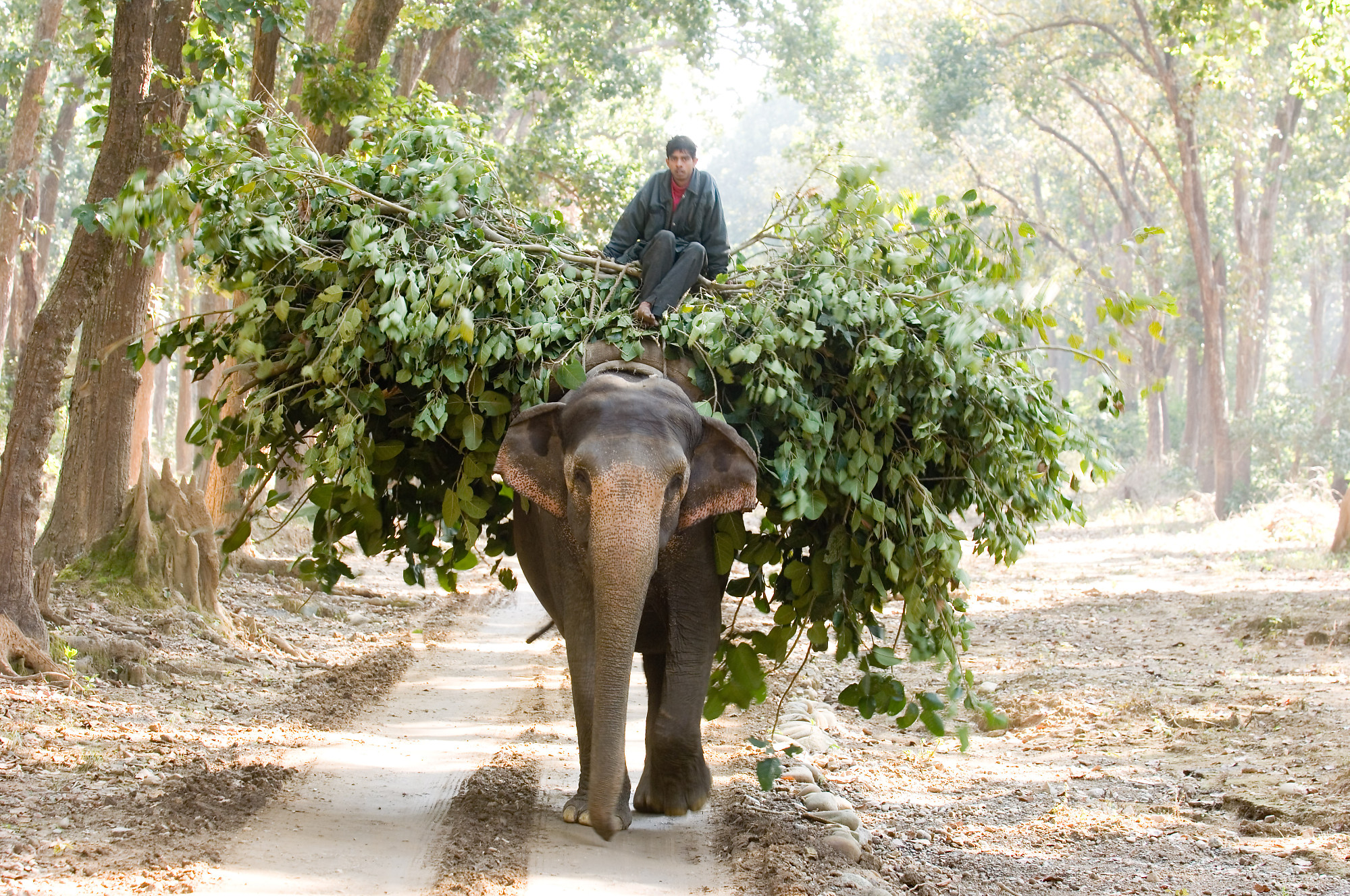Elephant Hauling Food