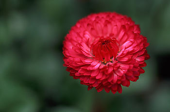 Red Corn Flower