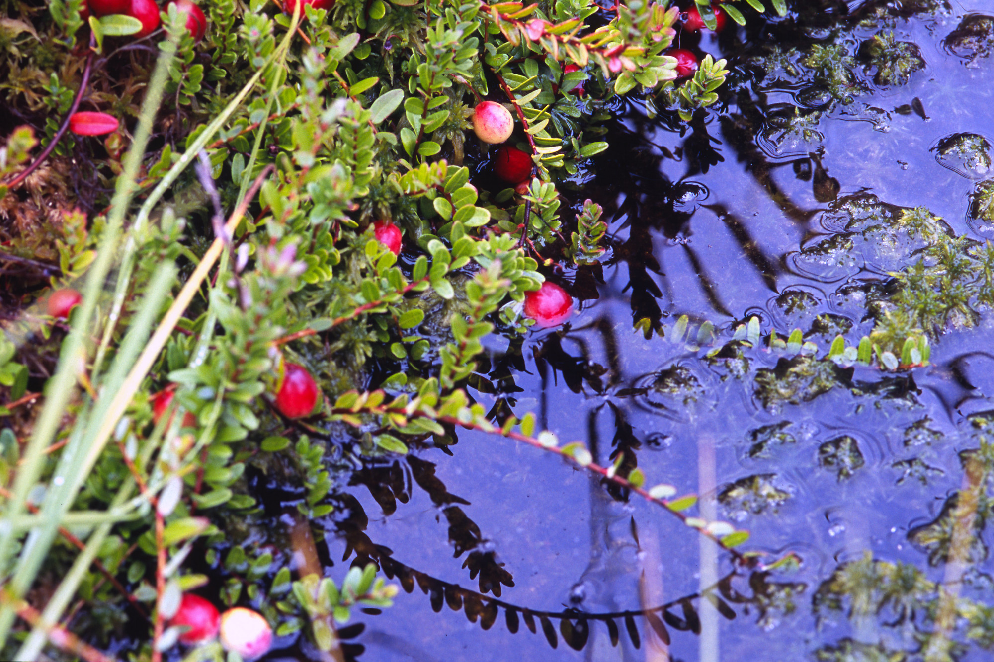 Image result for vaccinium oxycoccos