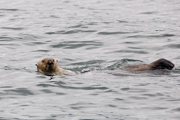 Sea Otter With Ears