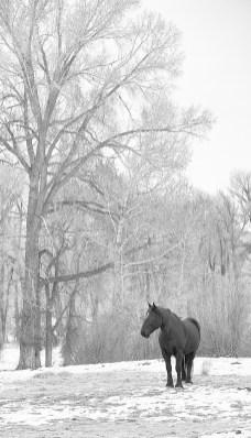 Black Horse and cottonwood
