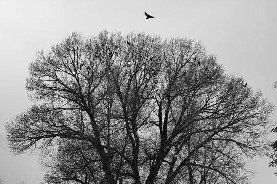 crow tree no 1