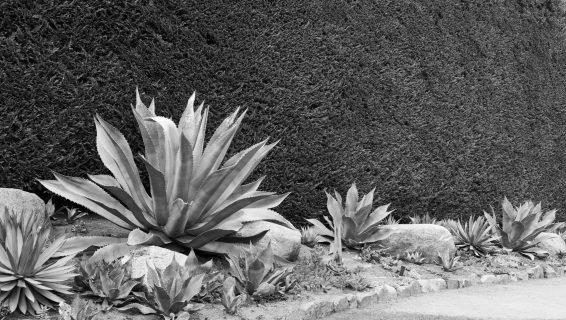 butchart succulents
