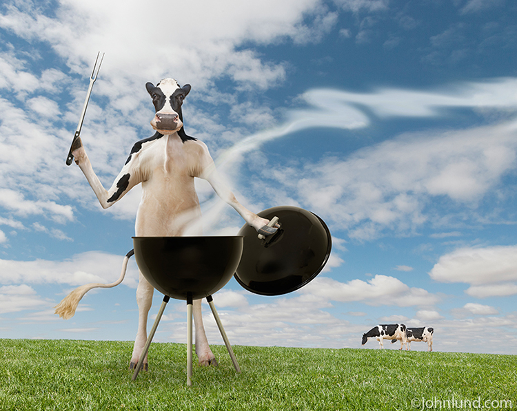 Cow Pictures Of A Funny Holstein Barbecuing