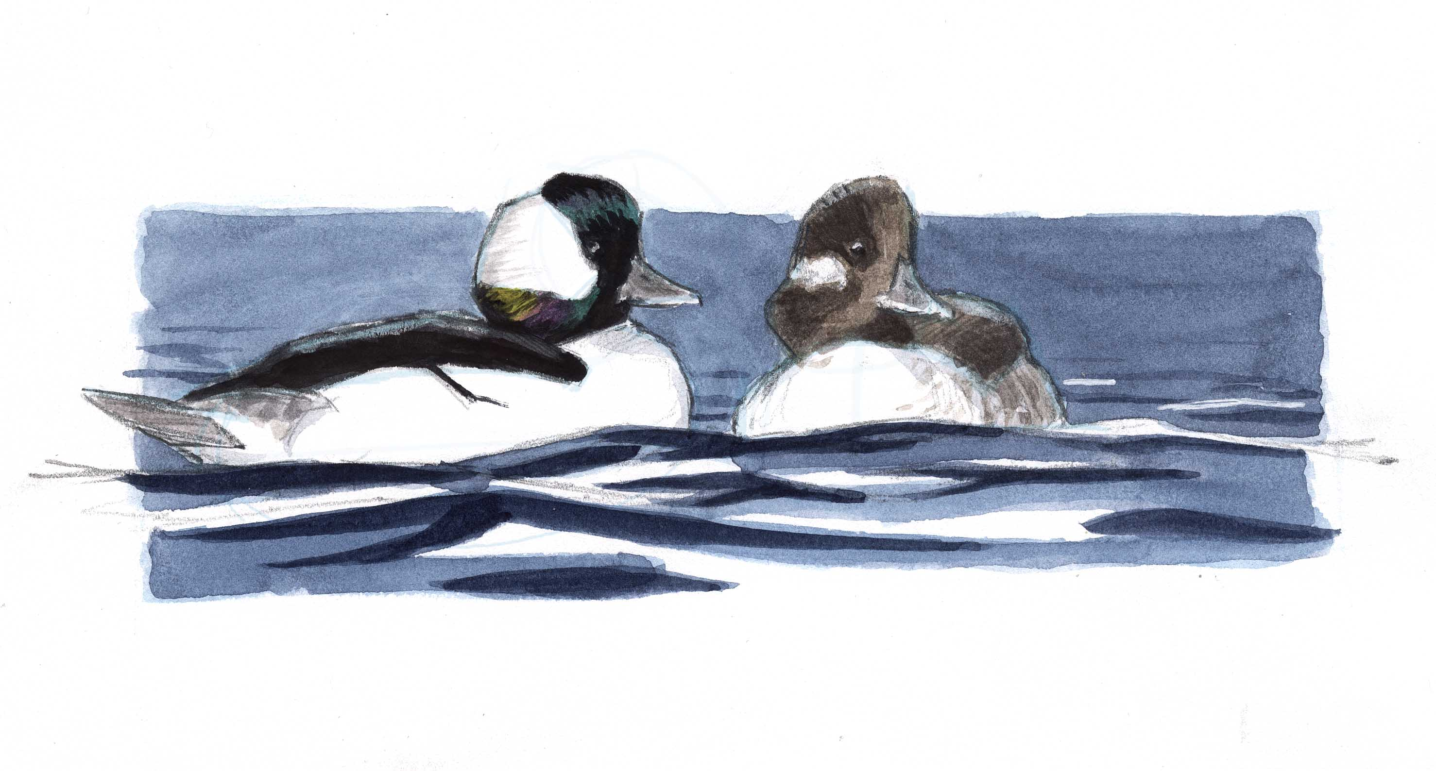 How To Draw Ducks And Waterfowl Video Workshop John Muir Laws