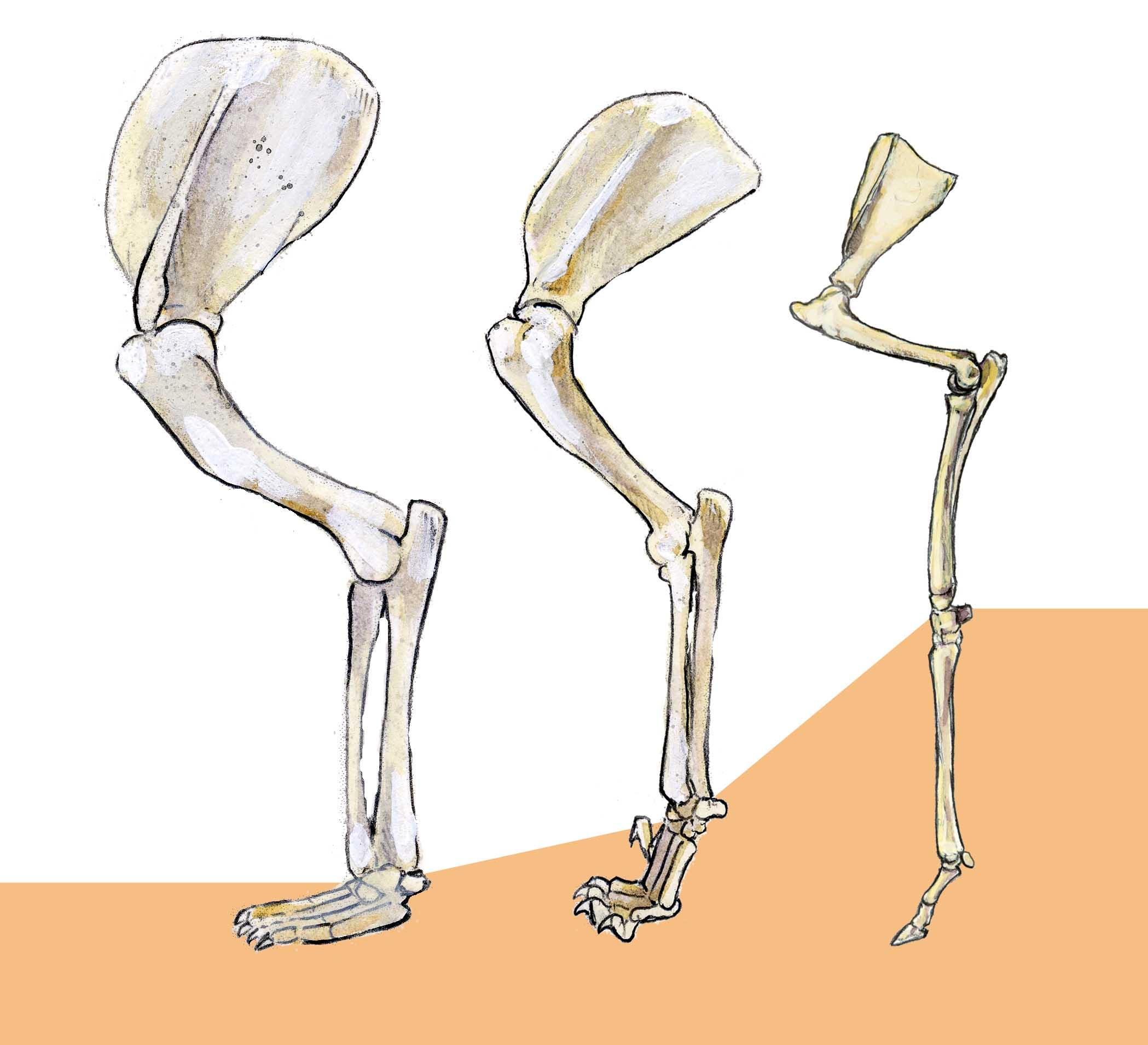 deer skeleton anatomy diagram wiring guitar fender leg bing images