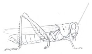 grasshopper line