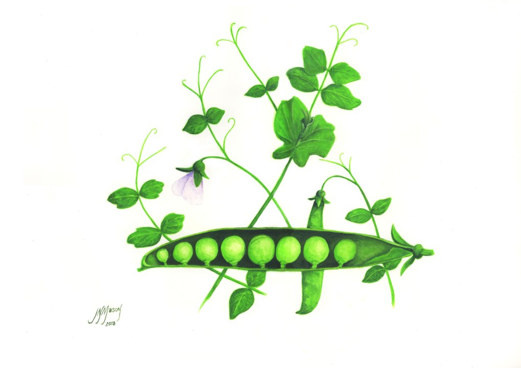 Botanical 2 Green Peas $280