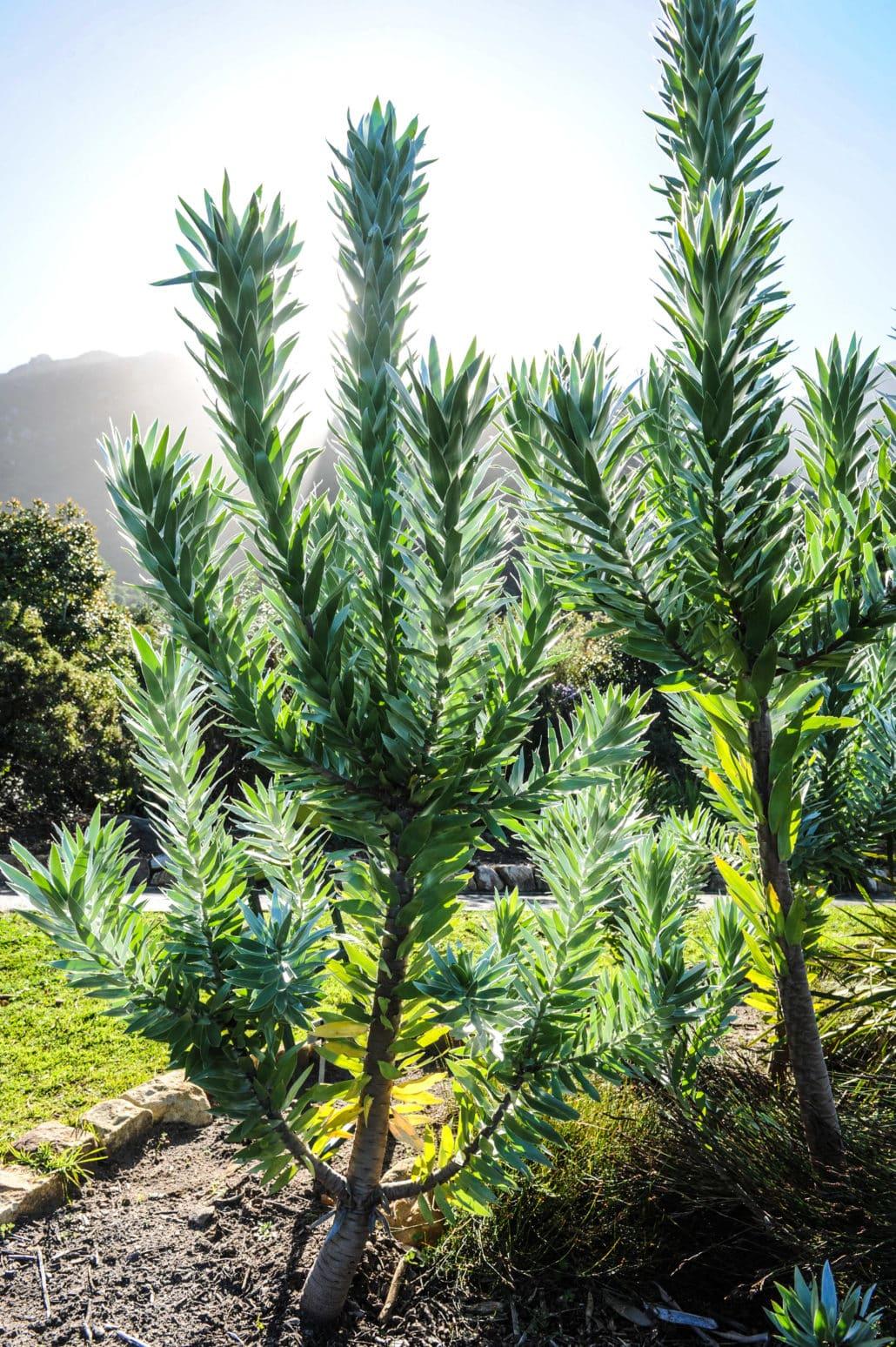 A large Silver Tree in Kirstenbosch National Botanical Garden