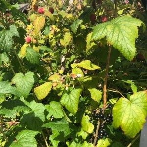 Wild raspberries and black currant bushes