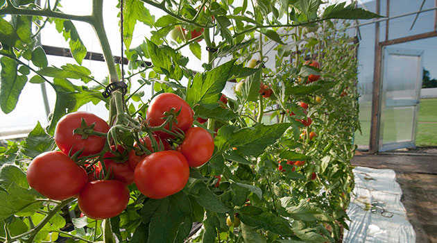 Trellising Amp Crop Support Systems For Tomatoes Stake Amp Basket Weave Stake Amp Hanging String