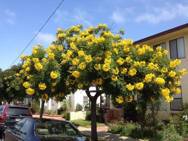 tipu tree