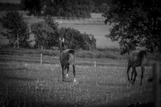 Hästfotograf halmstad