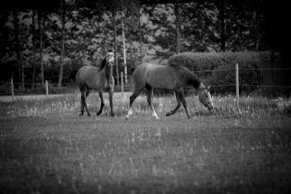 Häst Fotografering med Sandra Wersch