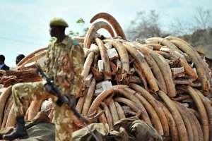 poachers elephant tusks