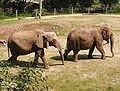 savanna elephants.