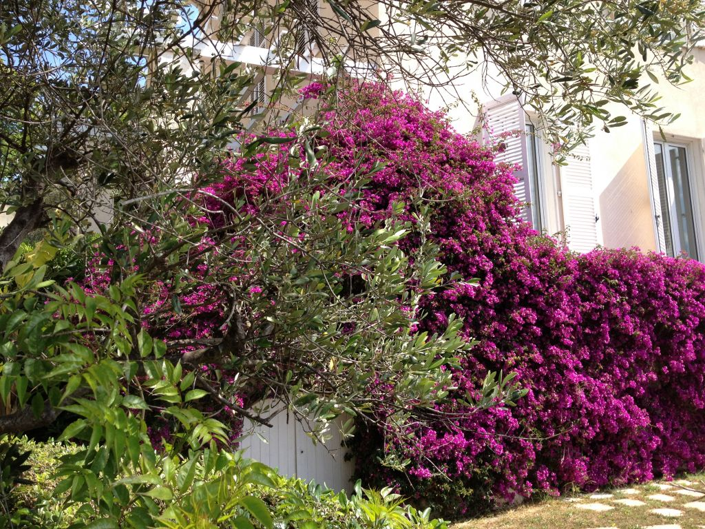 Bougainville at the Villa 2