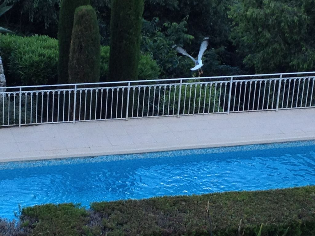 Seagul taking off from the Swimming Pool at the Villa