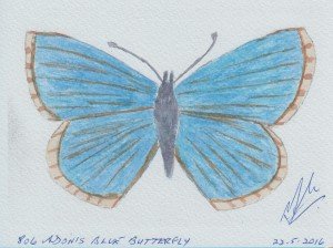 806 ADONIS BLUE BUTTERFLY