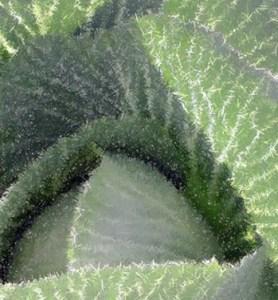 Spiked Cabbage - John Steins