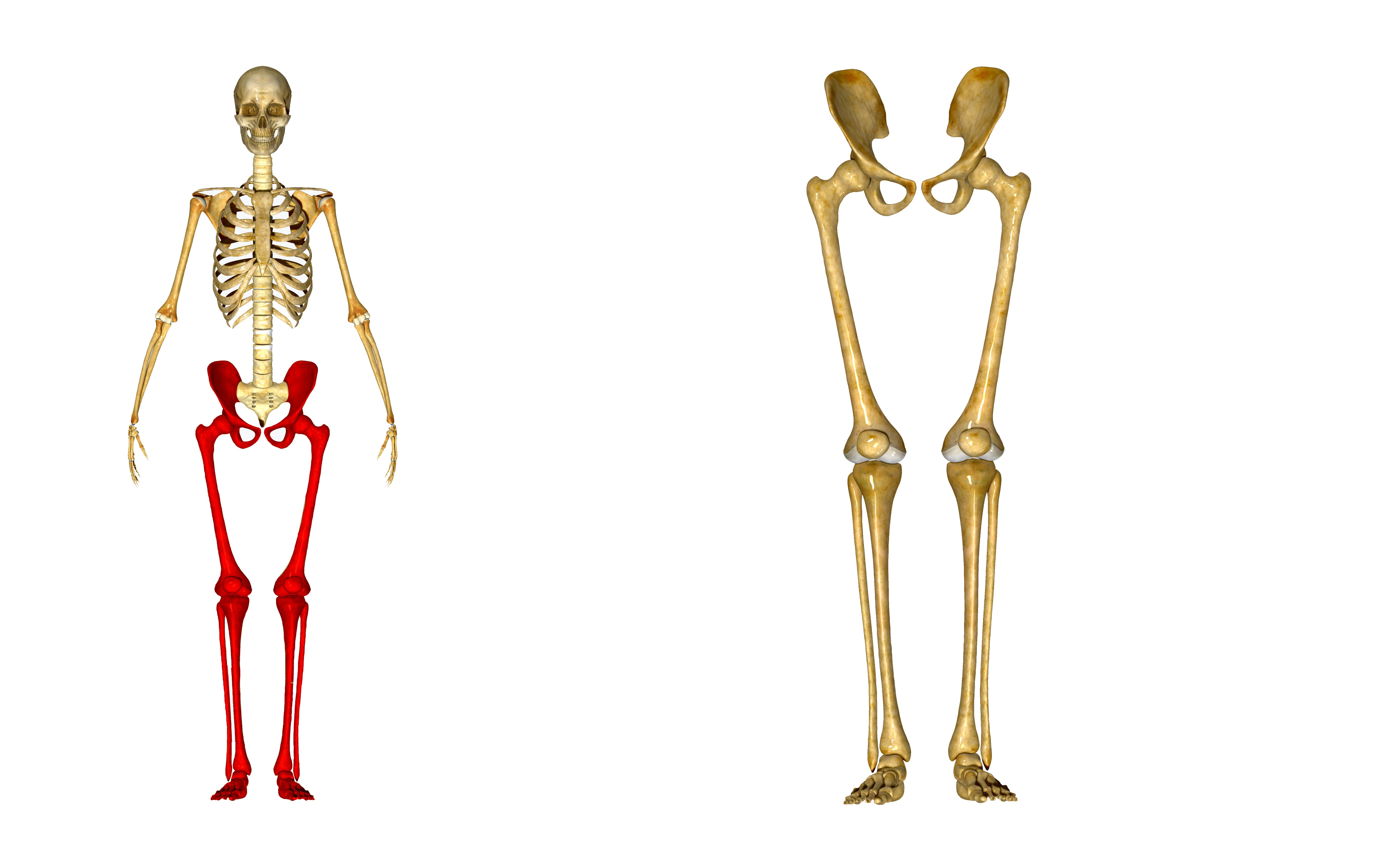 Leg Bones Worksheet