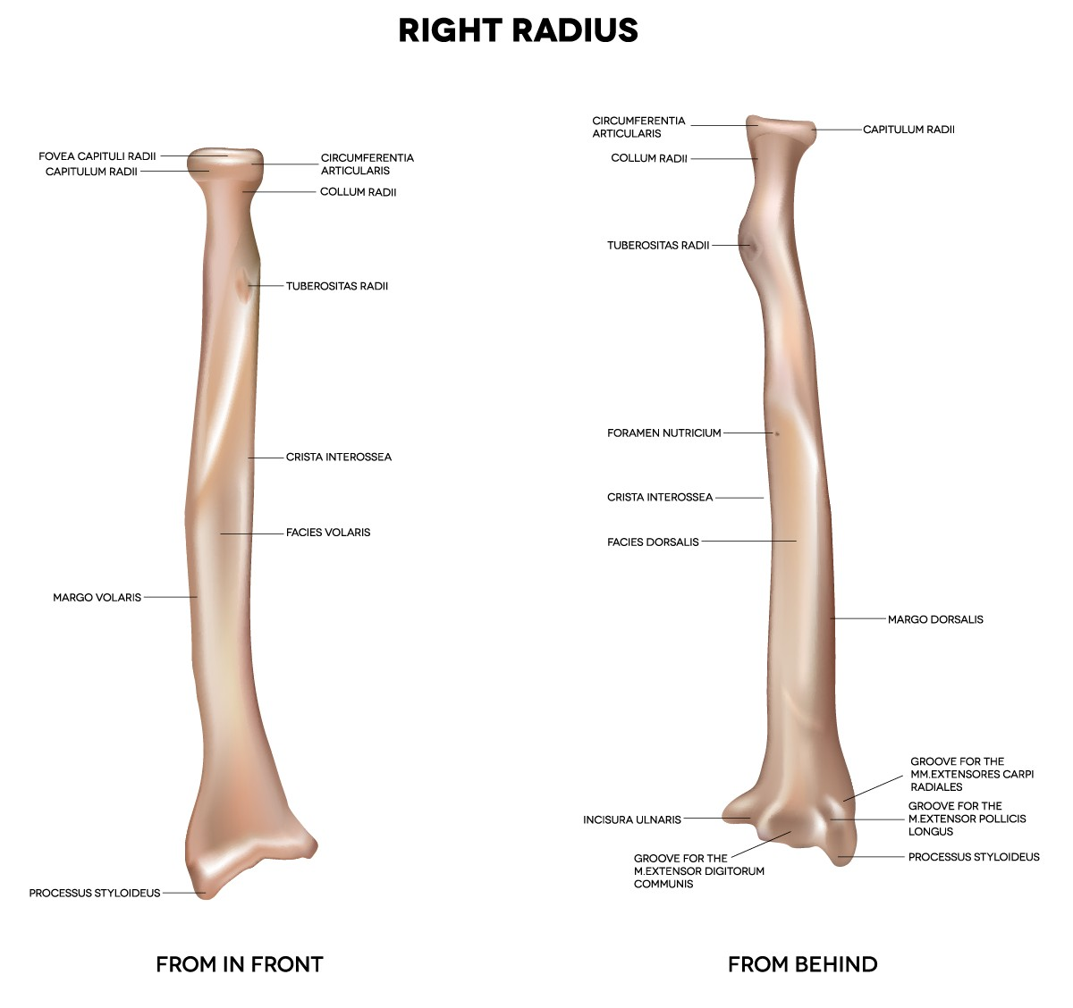 Bodyman Radius Human Right Radius Bone Detailed Medical