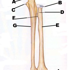 Scapula Diagram Quiz Chevy Impala Wiring Humerus Radius And Ulna | John The Bodyman Fitness Academy
